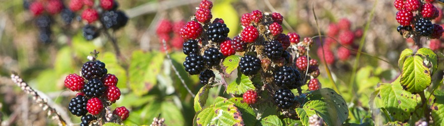 Brambles and Their Hidden Uses