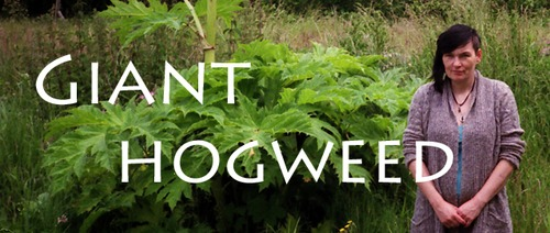 Giant Hogweed | Friend or Foe?