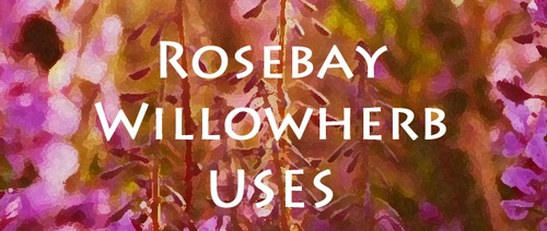 Rosebay Willowherb | Fireweed