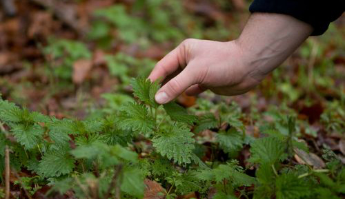 Picking Nettles